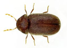 Black carpet beetle invades your floor covering - carpet and rugs. So be sure to watch out for this #householdpets #pestcontrol
