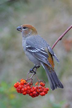 Pine Grosbeak ~ Male
