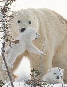 "The other small polar bear thinks: "". . . Before I get to it, I prefer to RUN AWAY FAST!"""