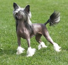 chinese crested dog | Chinese Crested Puppy Pictures