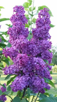 Ideas wall paper flores lilas for 2019 Lilac Bushes, Purple Flowers, Amazing Flowers, Lilac Plant, Flower Garden, Pretty Flowers, Love Flowers, Plants, Lilac