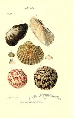 Antique print: picture of Ark Clam Shells - Arca