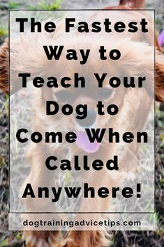 The Fastest Way to Teach Your Dog to Come When Called Anywhere! - Dog Training Advice Tips Puppy Training Tips, Training Your Dog, Dog Care Tips, Pet Care, Daisy Dog, No Rain, Pet Dogs, Doggies, How To Train Your