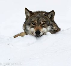 Snow Wolf STOP KILLING WOLVES !