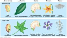 types of seed plants - monocots and dicots