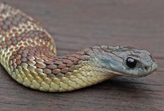 Common Tiger Snake. Common? Is there any such thing as a 'common' snake? This one is magnificent! :-)