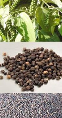 Black Pepper or Piper Nigrum