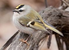 Golden-crowned Kinglet, Identification, All About Birds - Cornell Lab of Ornithology My favorite little migrant