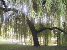 Willow - said to ease the soul at the time of death if it is planted by the deceased in their lifetime. Willow baskets can be used as offering containers for ancestors