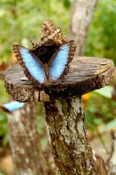 A blue morpho butterfly opens its wings at a butterfly preserve in Gamboa.