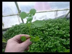 True Water Cress - the Aquaponic Dream Plant Hydroponic Gardening, Hydroponics, Gardening Tips, Aquaponics Fish, Fish Farming, Water Plants, Cool Plants, Herb Farm, Vegetable Gardening