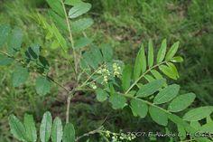 Zanthoxylum rhoifolium - Juvevê, Mamica-de-porca, Mamica-de-cadela. Flora Digital do Rio Grande do Sul e de Santa Catarina: Zanthoxylum rhoifolium