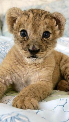 lion, cub, lie, baby