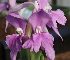 Show details for Roscoea humeana