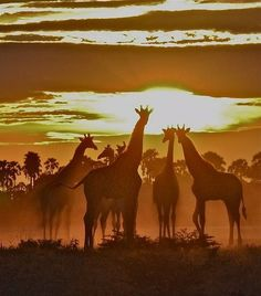 Dreaming under African skies. Jan Giraffes at African sunset. Traversing from Eastern to the Western Cape. Beautiful Creatures, Animals Beautiful, Cute Animals, Baby Animals, Nature Sauvage, African Animals, African Safari, African Giraffe, Giraffes