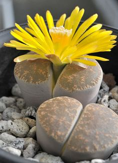 I used to grow these when I lived in California. I bought them at The Nut Tree. (Oh the memories!) Succulent / Lithops lesliei var. venteri