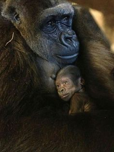 Gorilla holding baby / monkeys / apes / Sweet and cute animal photography pictures and photos ❤️