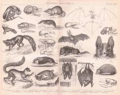 ANTIQUE MAMMAL PRINT Bats Lemur Animal Anatomy Print by GinAndJunk Animal Plates, African Map, Horse Print, Lemur, Wildlife Art, Antique Books, Mammals, Animal Pictures, Animal Anatomy