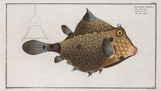 Ostracion Turritus, The Turret-Porter. (1785-1797)
