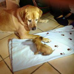 Chihuahua qui joue avec un labrador !