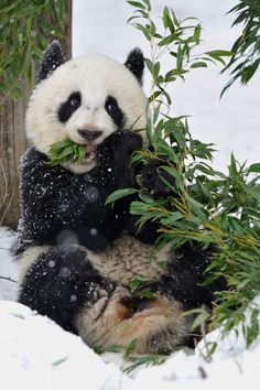 The Giant Panda. Now they're kept in captivity given the dangerously low numbers and low birth rates of wild pandas in the wild. Captive breeding programs are essential if we are to sustain the Panda population. Panda Love, Cute Panda, Happy Panda, Cute Baby Animals, Animals And Pets, Baby Pandas, Wild Animals, Giant Pandas, Beautiful Creatures