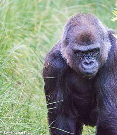 Gorilla at Hogle Zoo, Utah