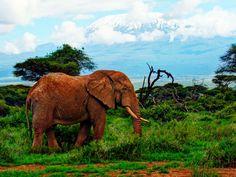 Amboseli National Park- Lone elephant against Kilimanjaro