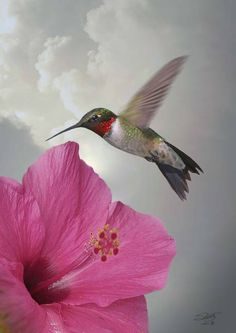 """Hibiscus and Hummingbird"" by I.M. Spadecaller: A flash of red and green, the Ruby-throated Hummingbird is eastern North Americas only breeding hummingbird. These brilliant, precision-flying creatures glisten like fine jewels in the sun, then in..."