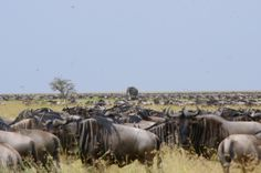 A lone elephant among the migrating wildebeest in Serengeti, Tanzania.  A fabulous sight!