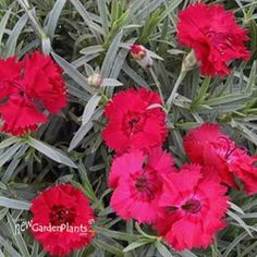 'Fire Star' Dianthus pp14895