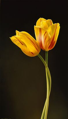 Two Tulips by Tjalf Sparnaay