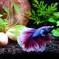 Aquarium water is key to healthy fish. Maintain a healthy fish tank by keeping up with water care. Betta Fish Care, Fish Tank Design, Aquarium Fish, Aquarium Ideas, Beta Fish, Pond Life, Siamese Fighting Fish, Fish Swimming, Pisces