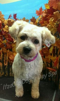 Ellie the Bichon/ Shih Tzu mix Bichon Shih Tzu Mix, Spa Day, Canada, Pets, Pictures, Animals, Animals And Pets, Photos, Animales