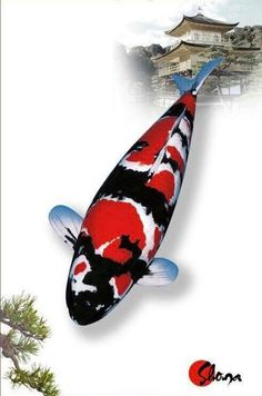 Koi Ponds, Koi Fish Pond, Koi Art, Fish Art, Showa Koi, Koi Fish Colors, Koi Fish Designs, Japanese Koi, Japan Style