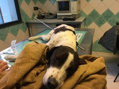Il cane Freccia in condizioni disperate: lo hanno infilzato da parte a parte con un arpione :http://www.qualazampa.news/2017/11/09/il-cane-freccia-in-condizioni-disperate-lo-hanno-infilzato-da-parte-a-parte-con-un-arpione/