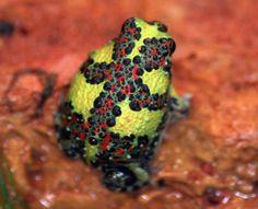 Holy cross frog Notaden bennetti Australia.. Photo: Flickr.com.