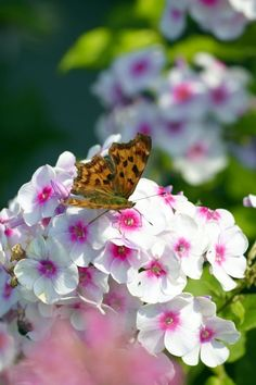 Butterfly perched on phlox flower Town And Country, Country Living, Bee Friendly Flowers, Phlox Flowers, Garden Inspiration, Backyard, Cottage Gardens, Garden Spaces, Outdoor Living