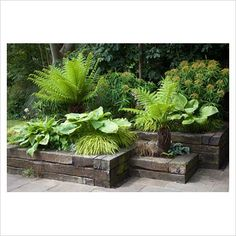 Green and yellow border in railway sleeper raised beds - Dicksonia antartica, Eu. - Green and yellow border in railway sleeper raised beds – Dicksonia antartica, Euphorbia mellifera - Back Gardens, Small Gardens, Outdoor Gardens, Courtyard Gardens, Ferns Garden, Shade Garden, Garden Path, Garden Planters, Water Garden