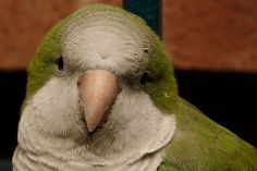 Teaching tips for training and vocabulary prompts for Quaker parrots
