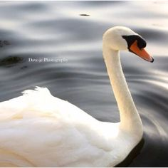 Side view of swan Swan Song, Side View, Animals And Pets, Still Life, Serenity, Birds, Paintings, Room, Blue