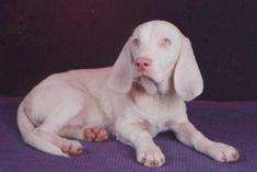Albino Beagle. Both parents were tricolor.