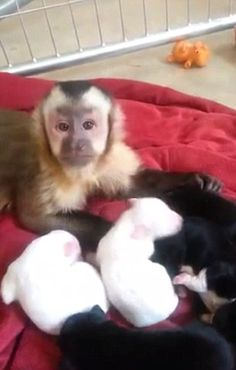 In March a capuchin monkey was introduced to a litter of black and white puppies and like a human pet lover went straight in for a cuddle Pet Puppy, Dog Cat, Funny Animals, Cute Animals, White Puppies, Pet Monkey, Little Monkeys, Dogs, Recorded History