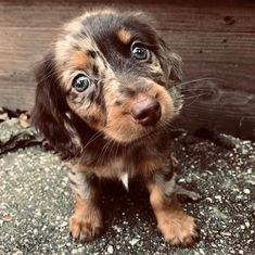 A research with short clips of 37 pet dogs recorded by their owners in daily activities show their 19 most common expressions to express what they want. Dachshunds are dominating the Internet, you can watch Dapple Dachshund Puppy, Long Haired Dachshund, Dachshund Love, Dachshund Quotes, Chihuahua Terrier Mix, Boston Terrier Pug, Chihuahua Dogs, Weenie Dogs, Pet Dogs