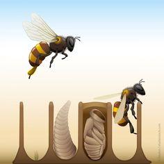 As abelhas são insetos pertencentes à ordem Hymenoptera. Durante seu ciclo de vida, estes animais sofrem o que chamamos de metamorfose completa, isto é, passam por 4 etapas: ovo, larva, pupa e adulto. © Daulon | Shutterstock  #BiologiaTotal #ProfJubilut  www.biologiatotal.com.br