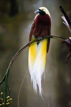 . the bird of paradise