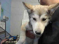 Pictures of URGENT ON 12/6 San Bernardino a Siberian Husky for adoption in San Bernardino, CA who needs a loving home.