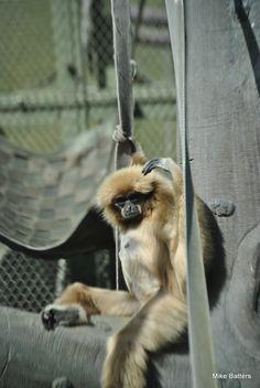 Lar Gibbon posing for a photo!