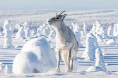 Renne Aïlo laponie finlandaise hiver Lappland, Parc National, Roadtrip, Community, Horses, Animals, Travel, Blog, Wanderlust