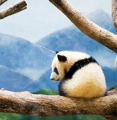 #panda #pandas I would love to photograph Baby Pandas. Please check out my website Thanks. www.photopix.co.nz