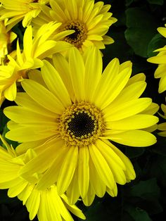 Yellow Gerbera--love the variety of colors the Gerbera comes in.